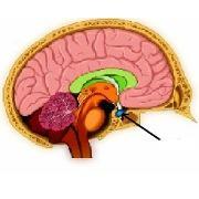 L'hypophyse mieux comprise grâce à l'imagerie 3D (glande cérébrale ...