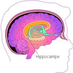 Probleme de memoire hippocampe