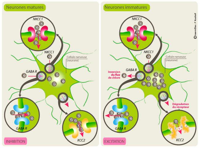 Ocytocine la naissance et gaba des donn es appuient un for Neurone miroir autisme
